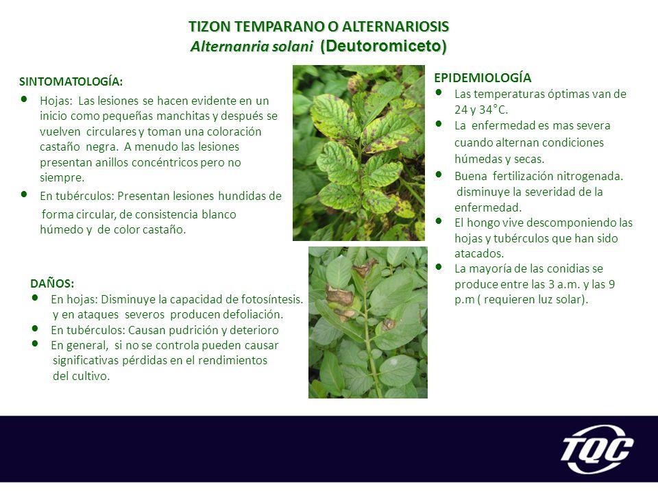TIZON TEMPARANO O ALTERNARIOSIS Alternanria solani (Deutoromiceto)