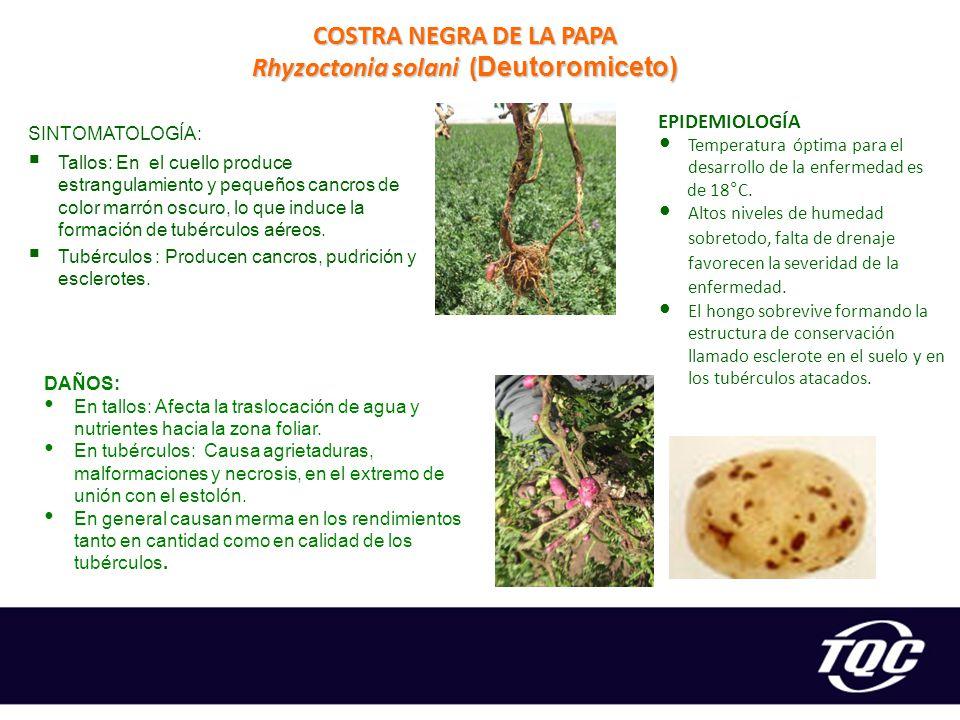 COSTRA NEGRA DE LA PAPA Rhyzoctonia solani (Deutoromiceto)