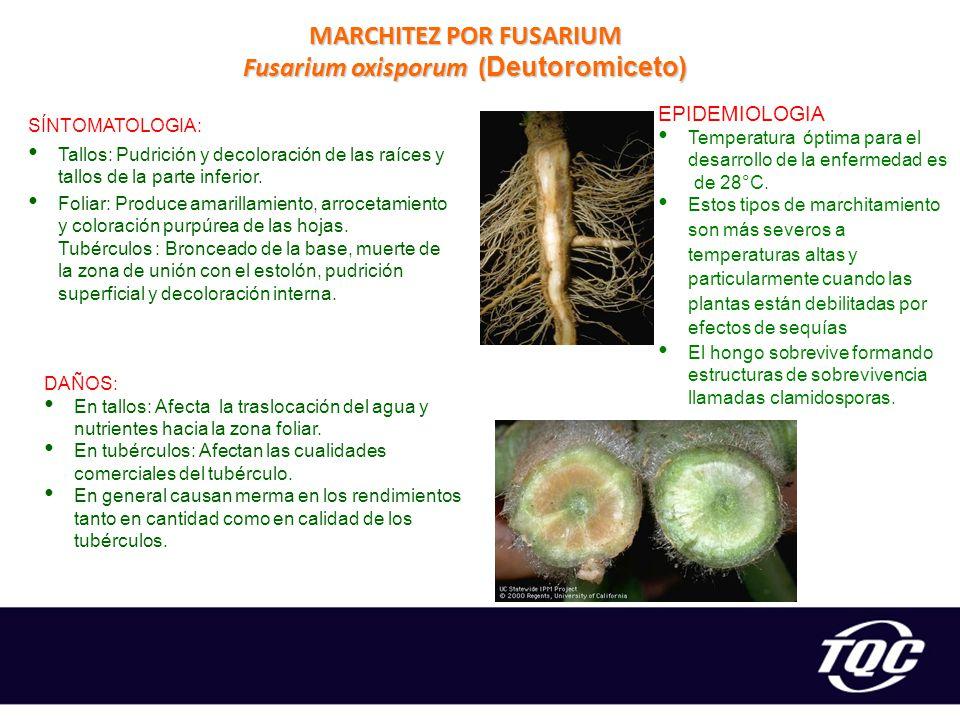 MARCHITEZ POR FUSARIUM Fusarium oxisporum (Deutoromiceto)