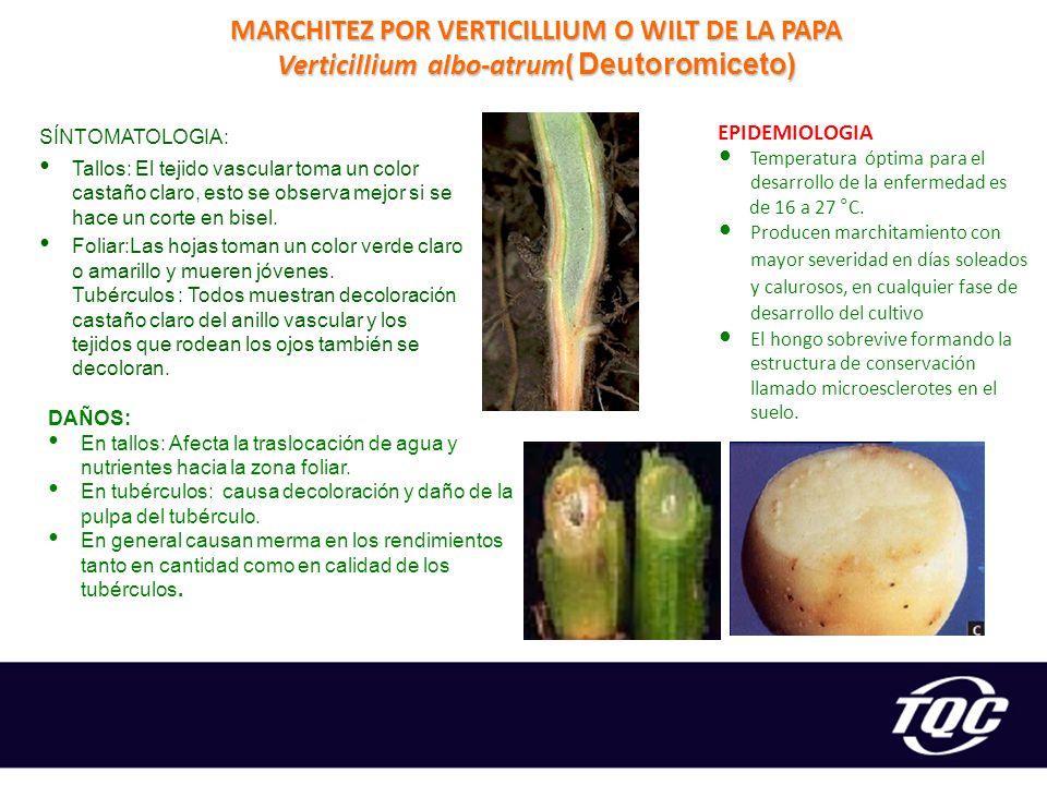 MARCHITEZ POR VERTICILLIUM O WILT DE LA PAPA Verticillium albo-atrum( Deutoromiceto)