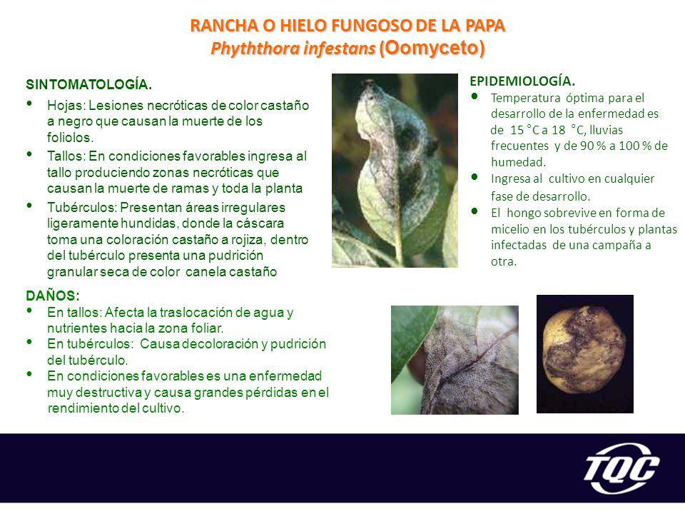 RANCHA O HIELO FUNGOSO DE LA PAPA Phyththora infestans (Oomyceto)