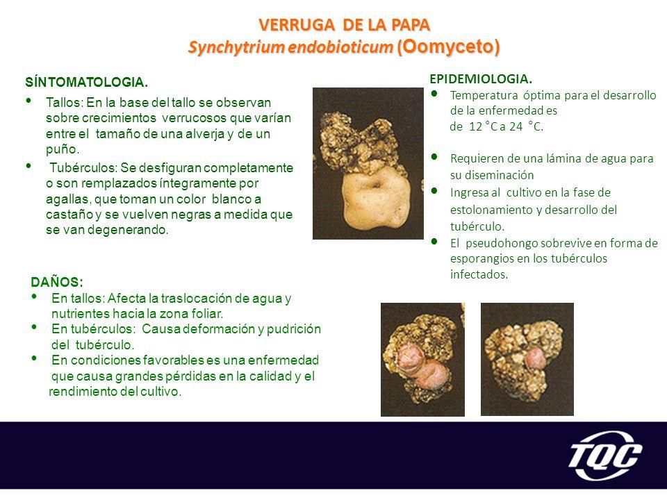 Synchytrium endobioticum (Oomyceto)