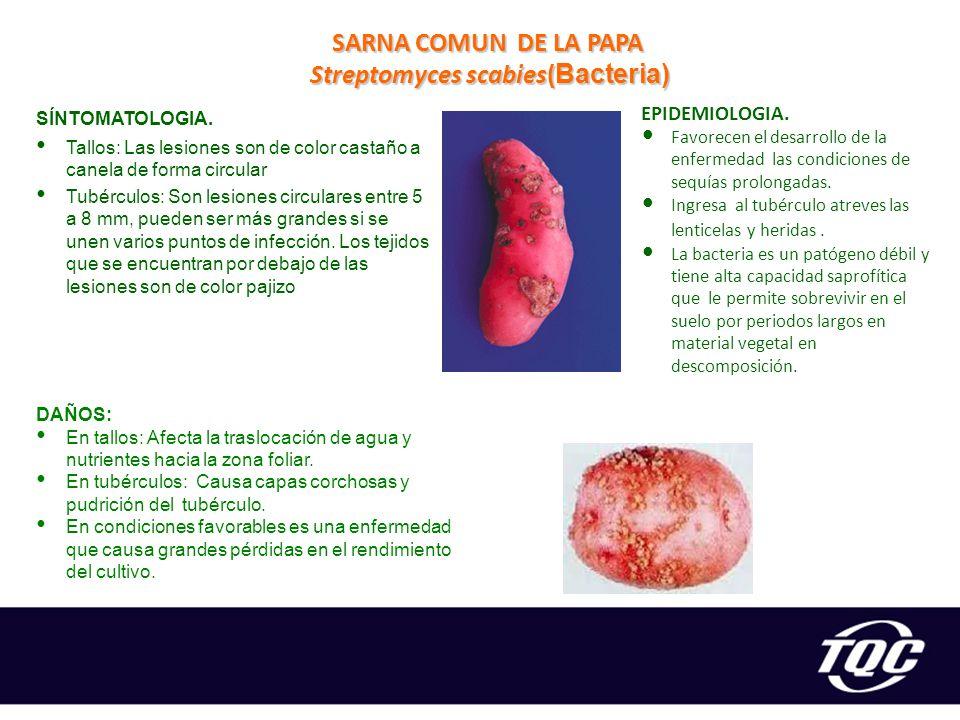 Streptomyces scabies(Bacteria)