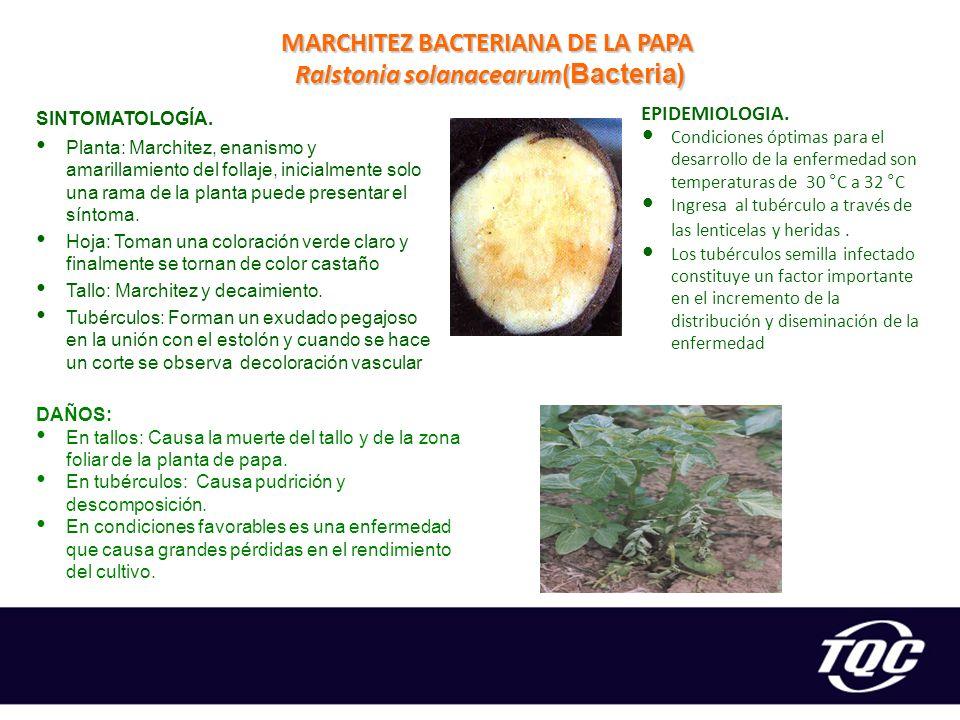 MARCHITEZ BACTERIANA DE LA PAPA Ralstonia solanacearum(Bacteria)