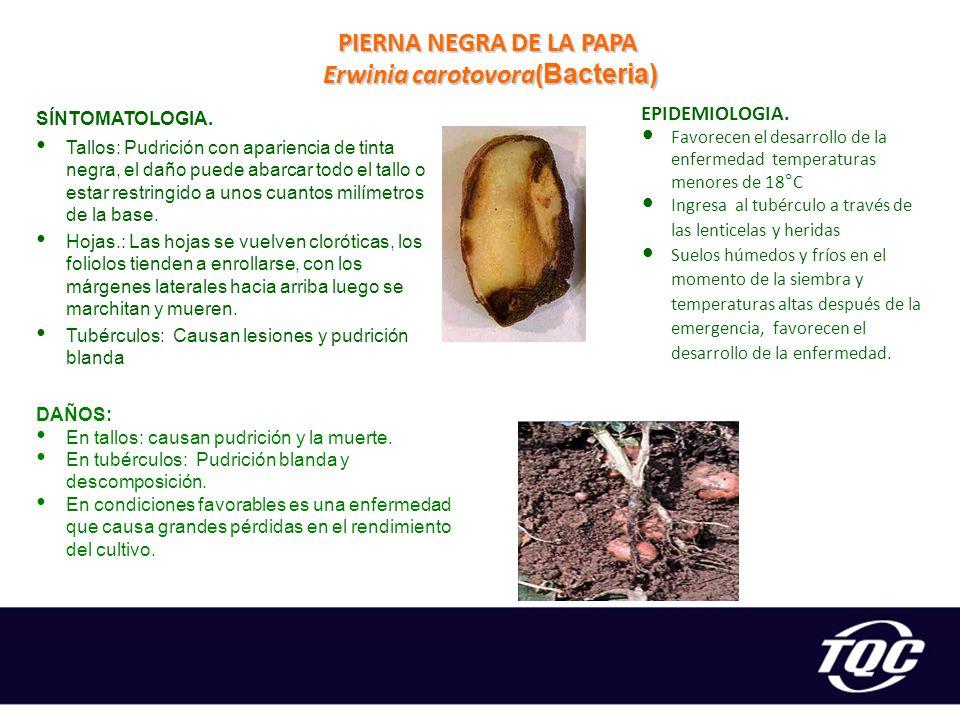 Erwinia carotovora(Bacteria)