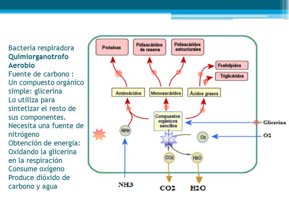 Bacteria respiradora Quimiorganotrofo Aerobio Fuente de carbono : Un compuesto orgánico simple: glicerina Lo utiliza para sintetizar el resto de sus componentes.
