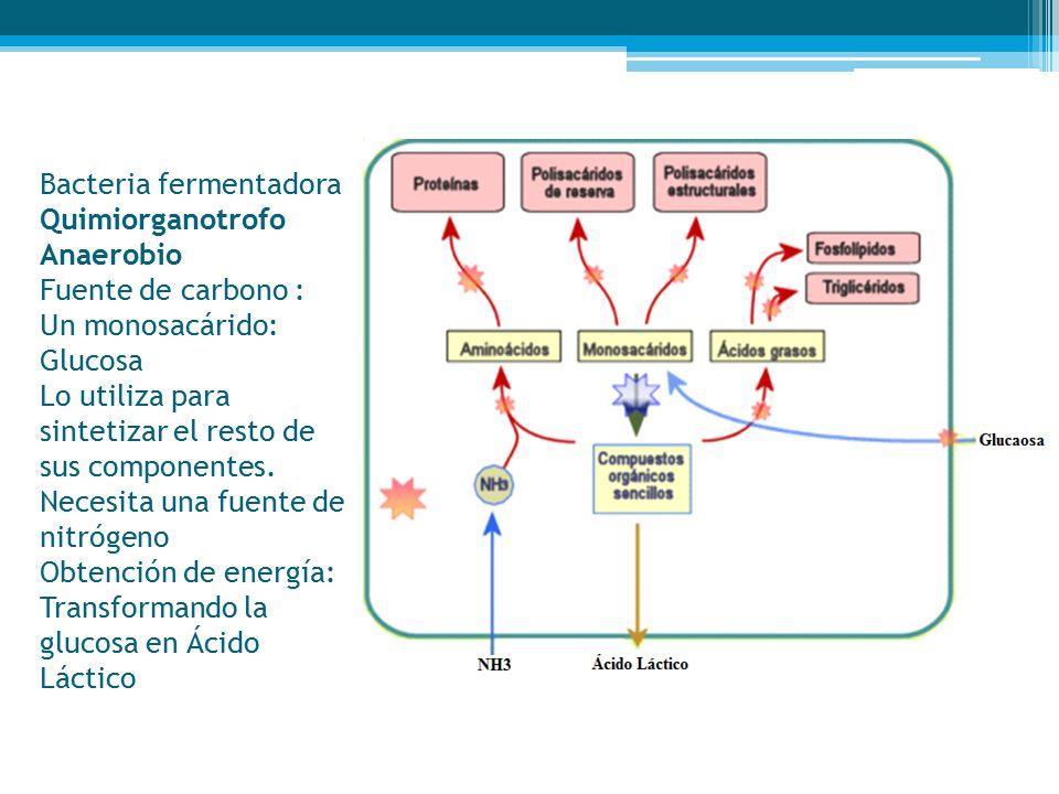 Bacteria fermentadora Quimiorganotrofo Anaerobio Fuente de carbono : Un monosacárido: Glucosa Lo utiliza para sintetizar el resto de sus componentes.