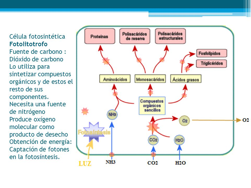 Célula fotosintética Fotolitotrofo Fuente de carbono : Dióxido de carbono Lo utiliza para sintetizar compuestos orgánicos y de estos el resto de sus componentes.