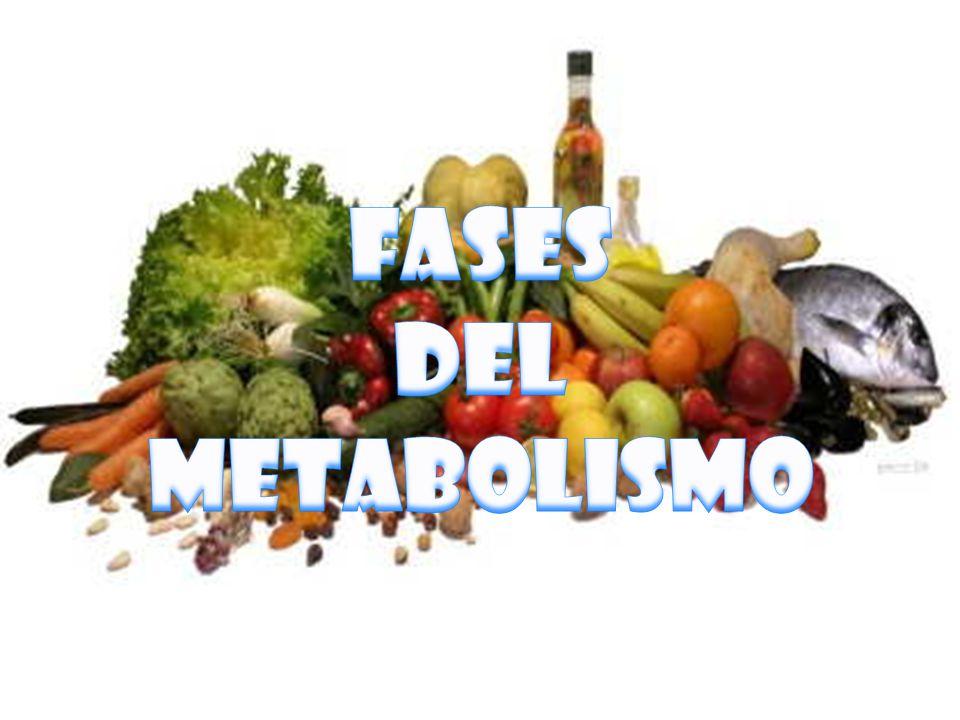 FASES DEL METABOLISMO