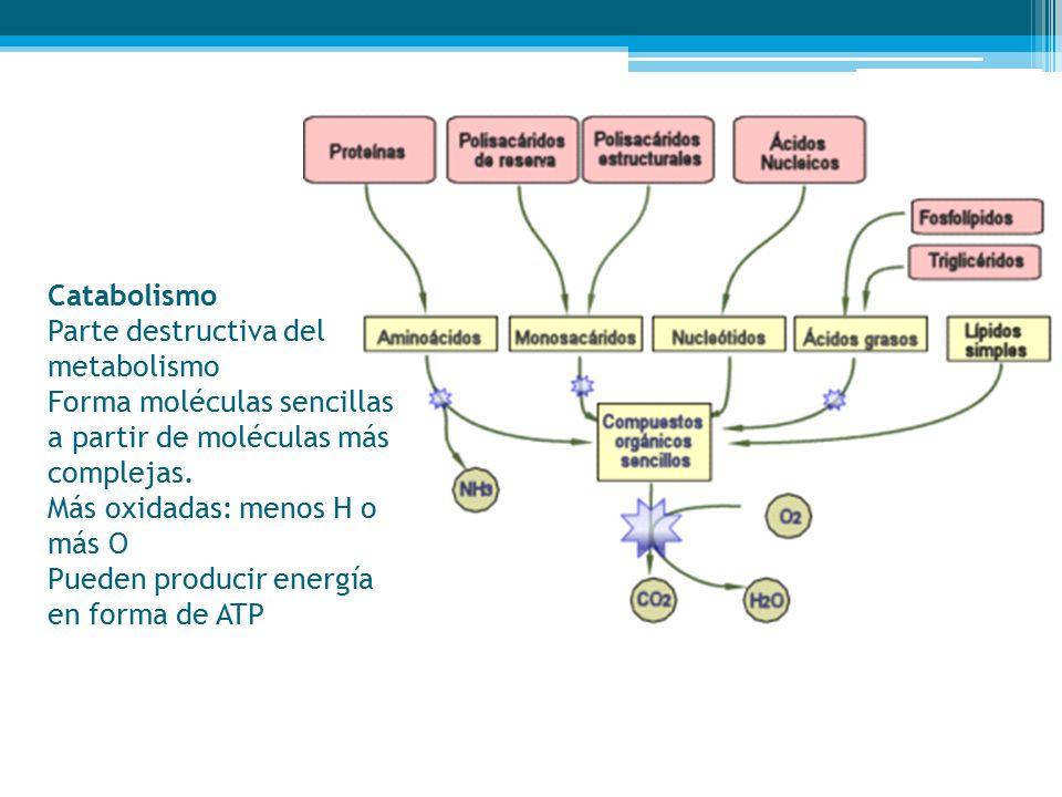 Catabolismo Parte destructiva del metabolismo Forma moléculas sencillas a partir de moléculas más complejas. Más oxidadas: menos H o más O Pueden producir energía en forma de ATP