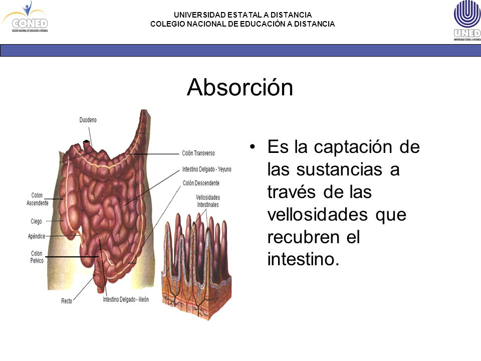 Absorción Es la captación de las sustancias a través de las vellosidades que recubren el intestino.