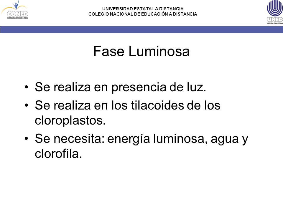 Fase Luminosa Se realiza en presencia de luz.