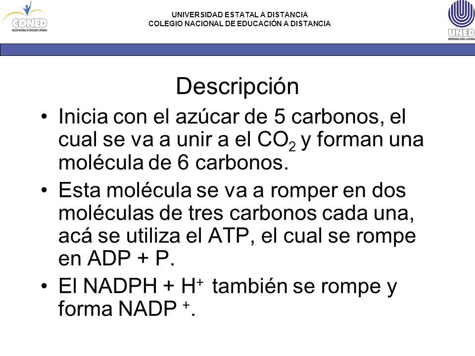 Descripción Inicia con el azúcar de 5 carbonos, el cual se va a unir a el CO2 y forman una molécula de 6 carbonos.