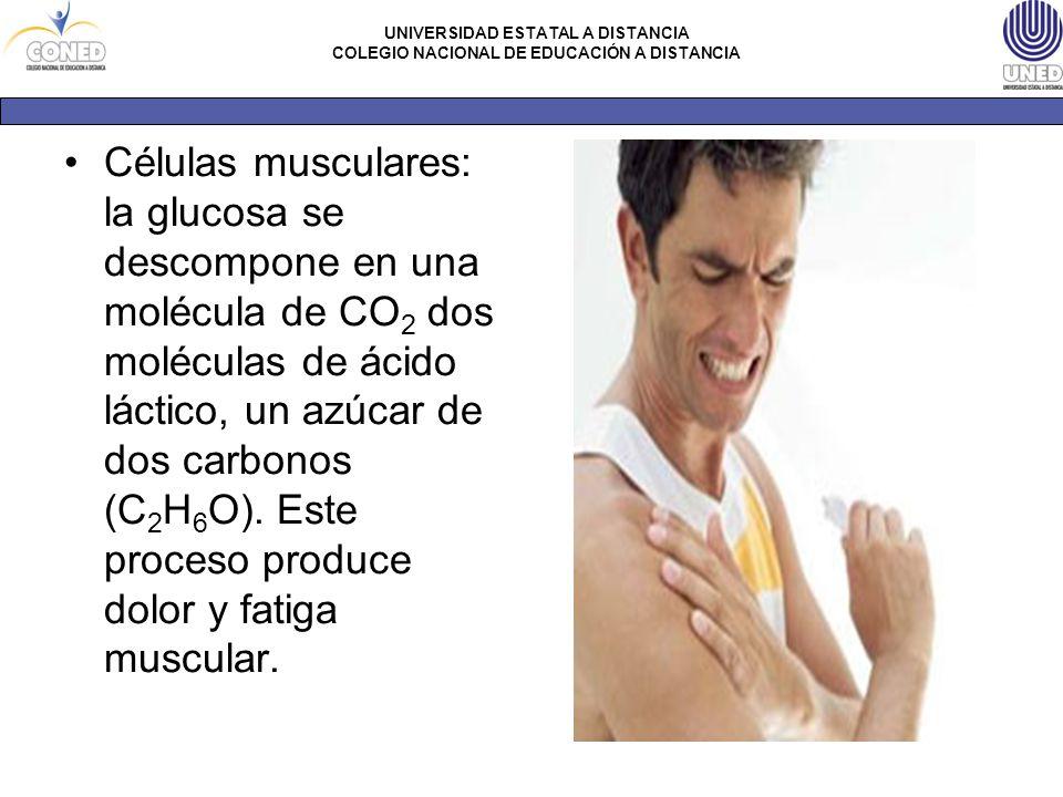 Células musculares: la glucosa se descompone en una molécula de CO2 dos moléculas de ácido láctico, un azúcar de dos carbonos (C2H6O).