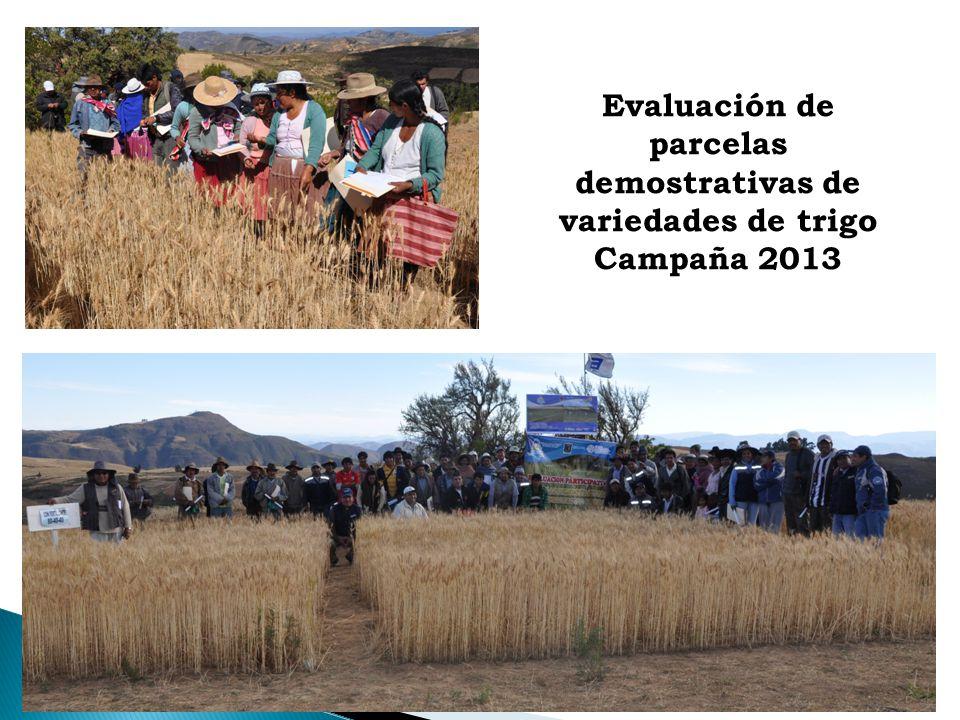 Evaluación de parcelas demostrativas de variedades de trigo Campaña 2013