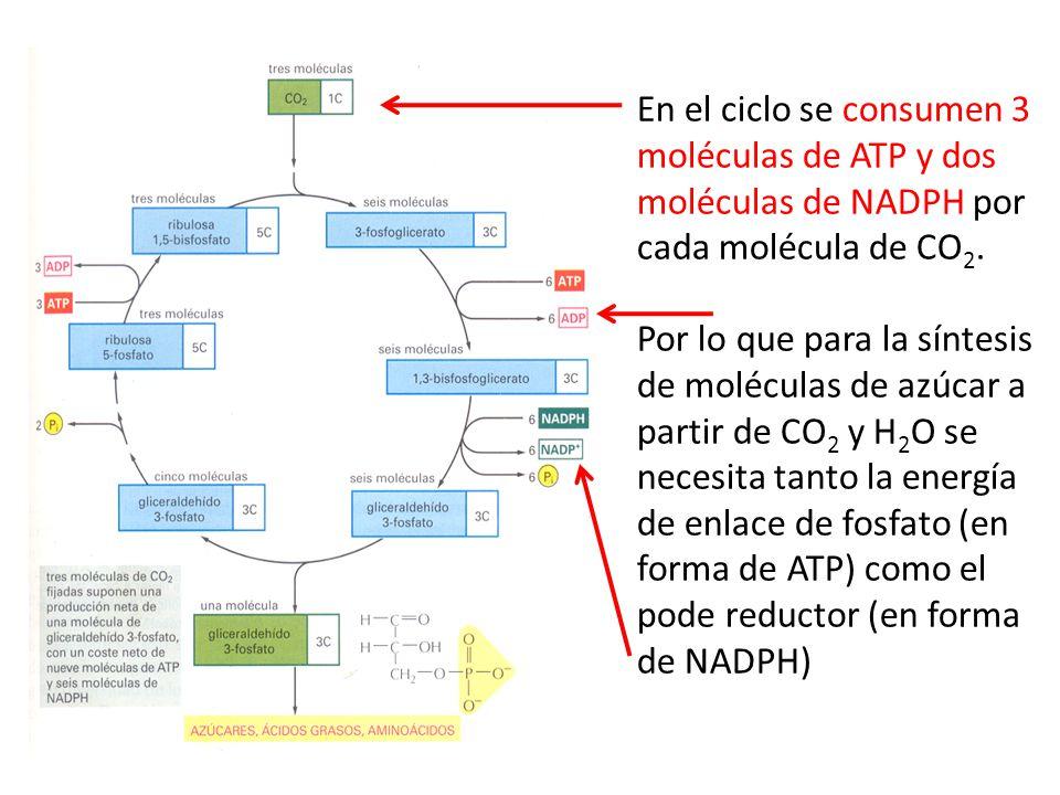 En el ciclo se consumen 3 moléculas de ATP y dos moléculas de NADPH por cada molécula de CO2.