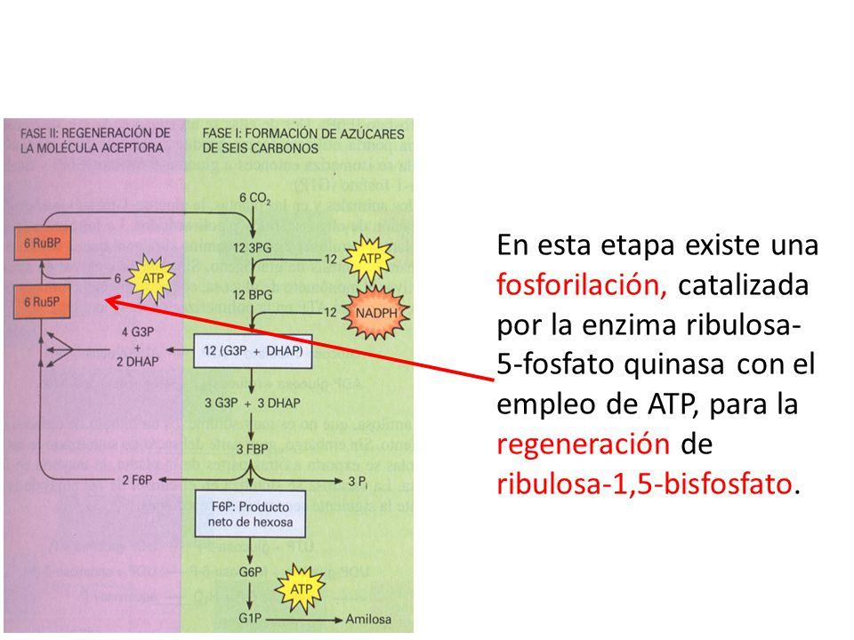 En esta etapa existe una fosforilación, catalizada por la enzima ribulosa-5-fosfato quinasa con el empleo de ATP, para la regeneración de ribulosa-1,5-bisfosfato.