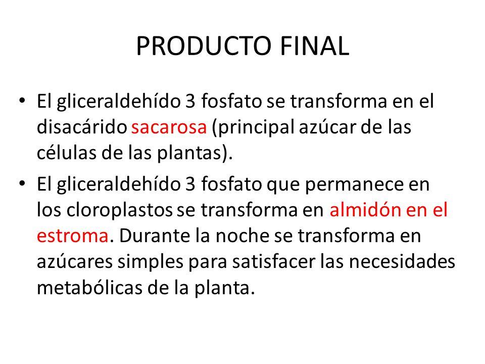 PRODUCTO FINAL El gliceraldehído 3 fosfato se transforma en el disacárido sacarosa (principal azúcar de las células de las plantas).