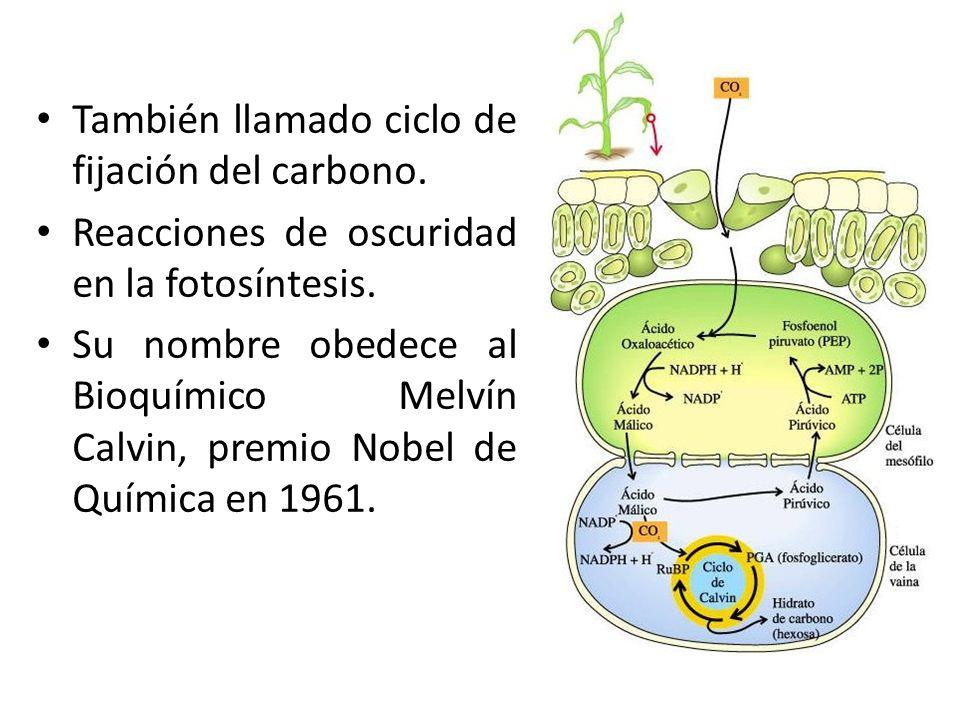 También llamado ciclo de fijación del carbono.