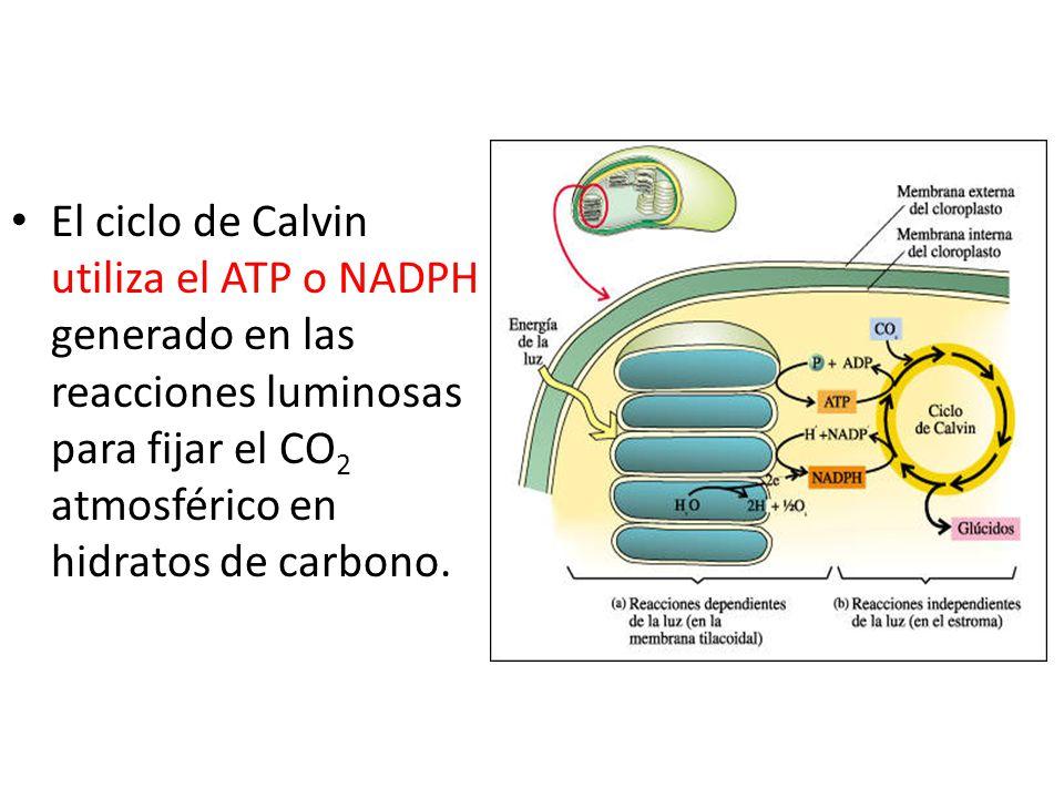 El ciclo de Calvin utiliza el ATP o NADPH generado en las reacciones luminosas para fijar el CO2 atmosférico en hidratos de carbono.