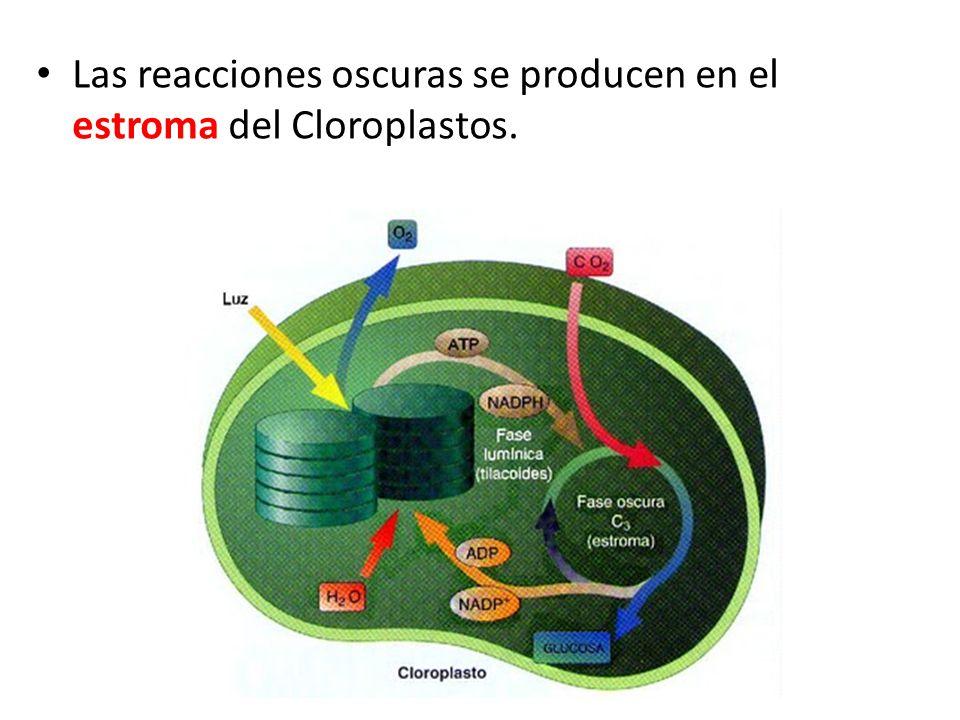 Las reacciones oscuras se producen en el estroma del Cloroplastos.