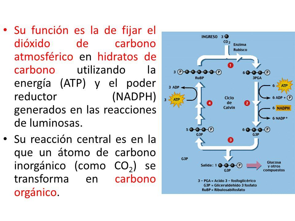 Su función es la de fijar el dióxido de carbono atmosférico en hidratos de carbono utilizando la energía (ATP) y el poder reductor (NADPH) generados en las reacciones de luminosas.