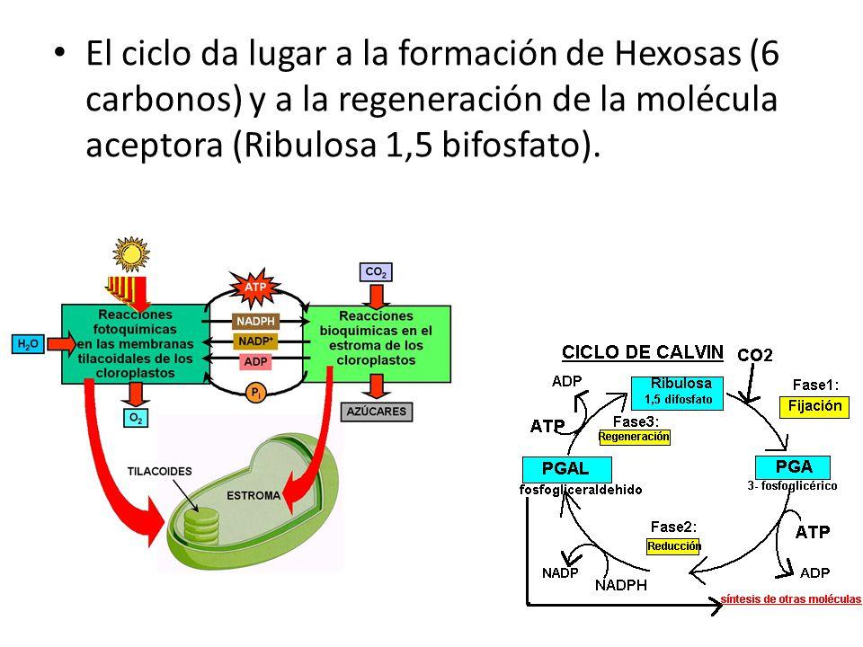 El ciclo da lugar a la formación de Hexosas (6 carbonos) y a la regeneración de la molécula aceptora (Ribulosa 1,5 bifosfato).