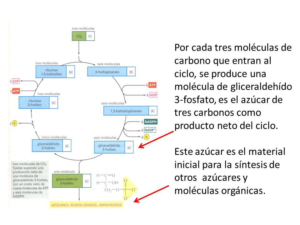 Por cada tres moléculas de carbono que entran al ciclo, se produce una molécula de gliceraldehído 3-fosfato, es el azúcar de tres carbonos como producto neto del ciclo.