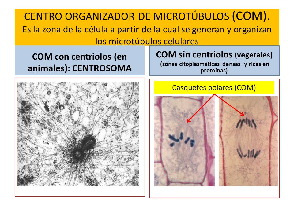 CENTRO ORGANIZADOR DE MICROTÚBULOS (COM)