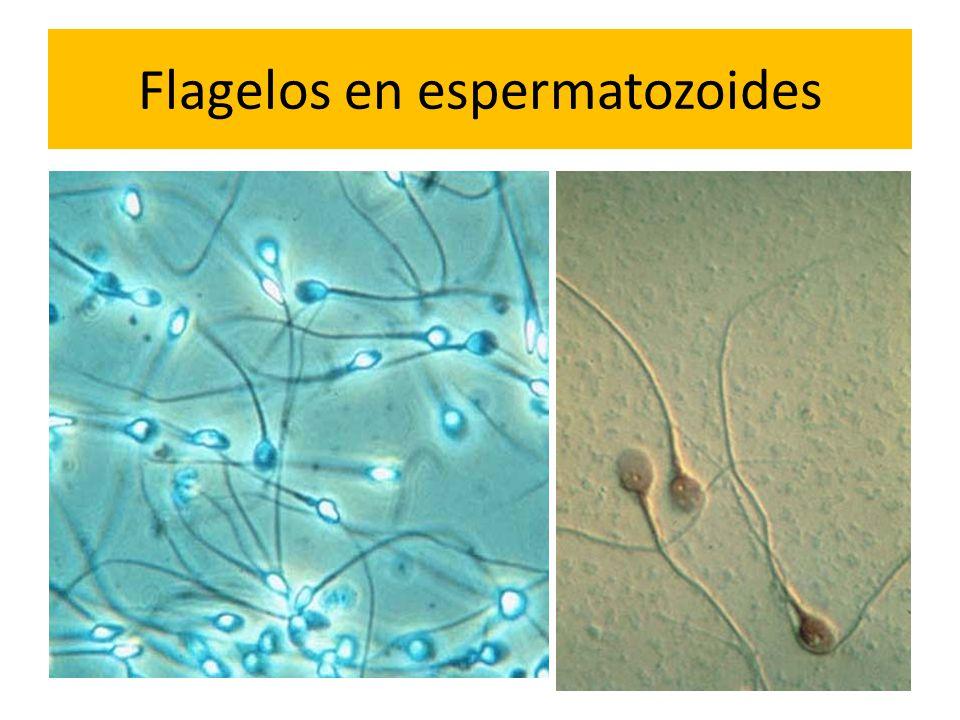 Flagelos en espermatozoides