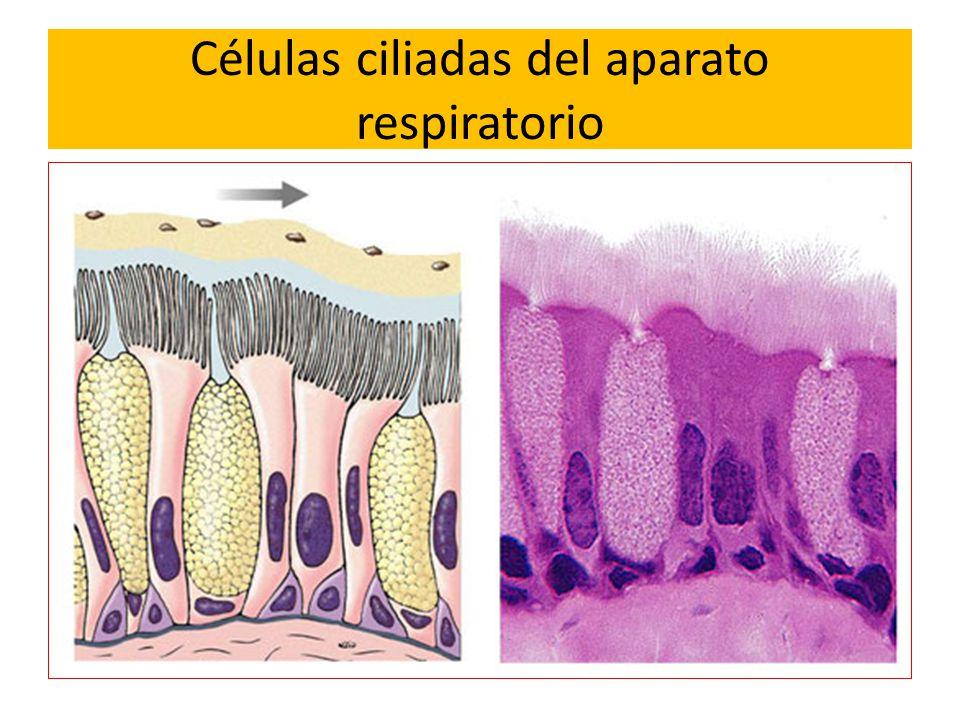 Células ciliadas del aparato respiratorio