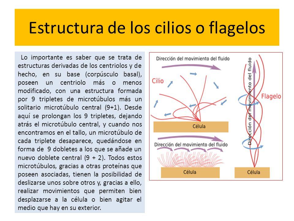 Estructura de los cilios o flagelos