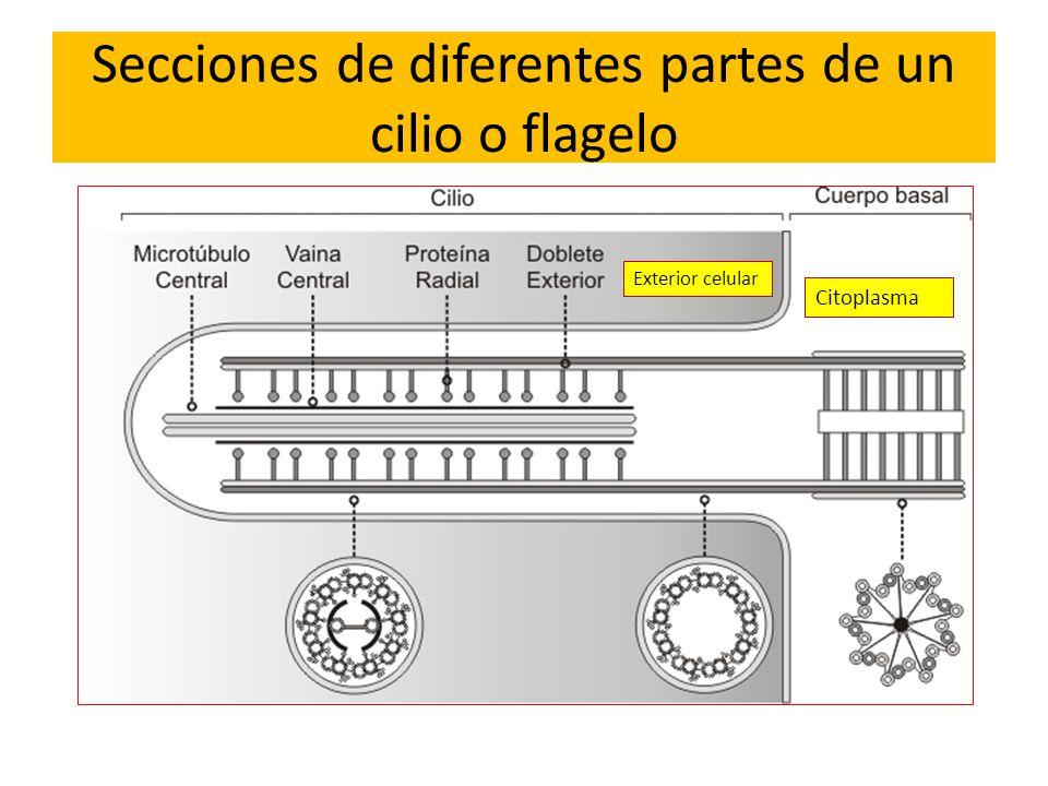 Secciones de diferentes partes de un cilio o flagelo