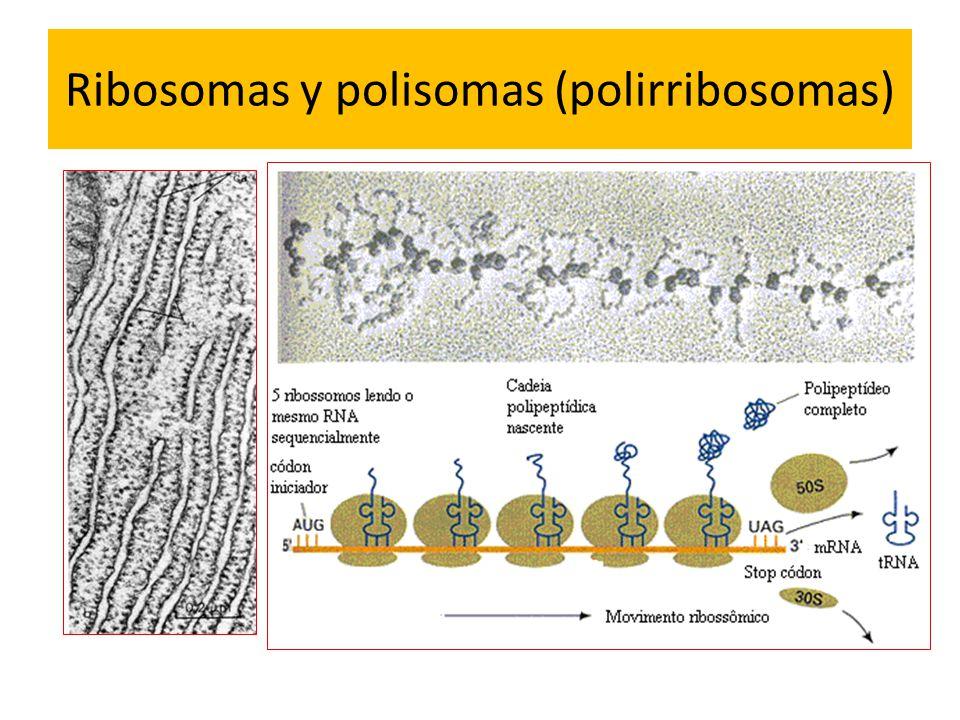 Ribosomas y polisomas (polirribosomas)