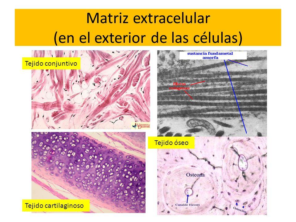 Matriz extracelular (en el exterior de las células)