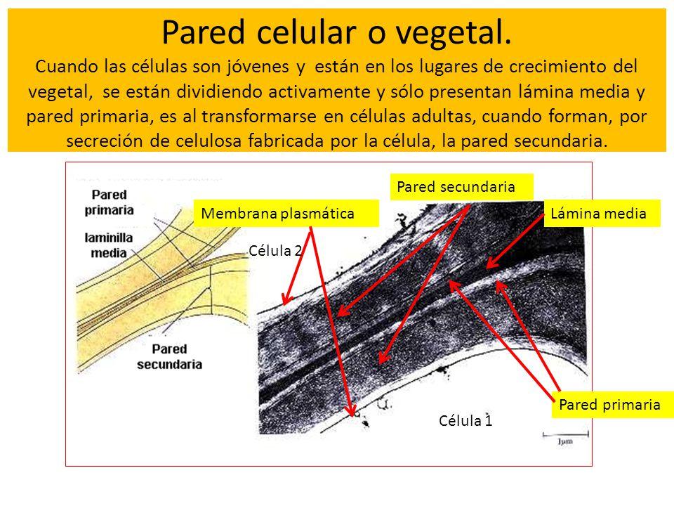 Pared celular o vegetal