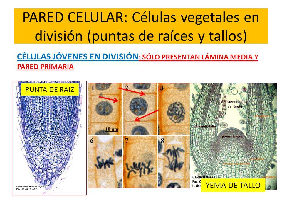 PARED CELULAR: Células vegetales en división (puntas de raíces y tallos)