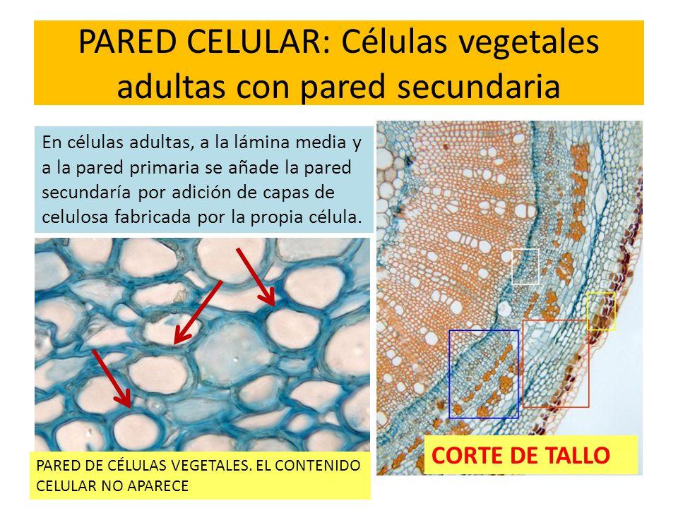 PARED CELULAR: Células vegetales adultas con pared secundaria