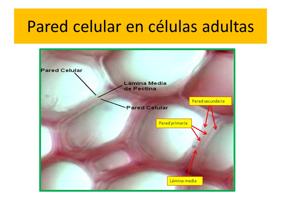 Pared celular en células adultas