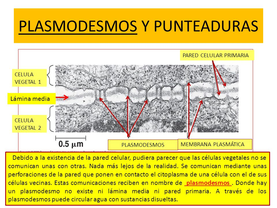 PLASMODESMOS Y PUNTEADURAS