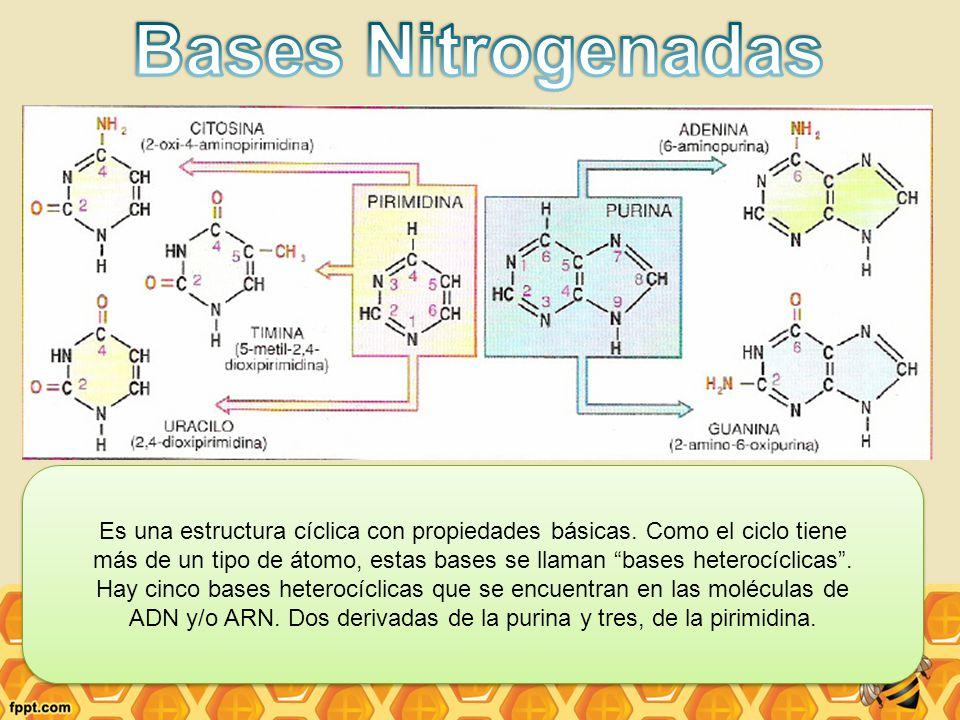 Bases Nitrogenadas Es una estructura cíclica con propiedades básicas. Como el ciclo tiene.