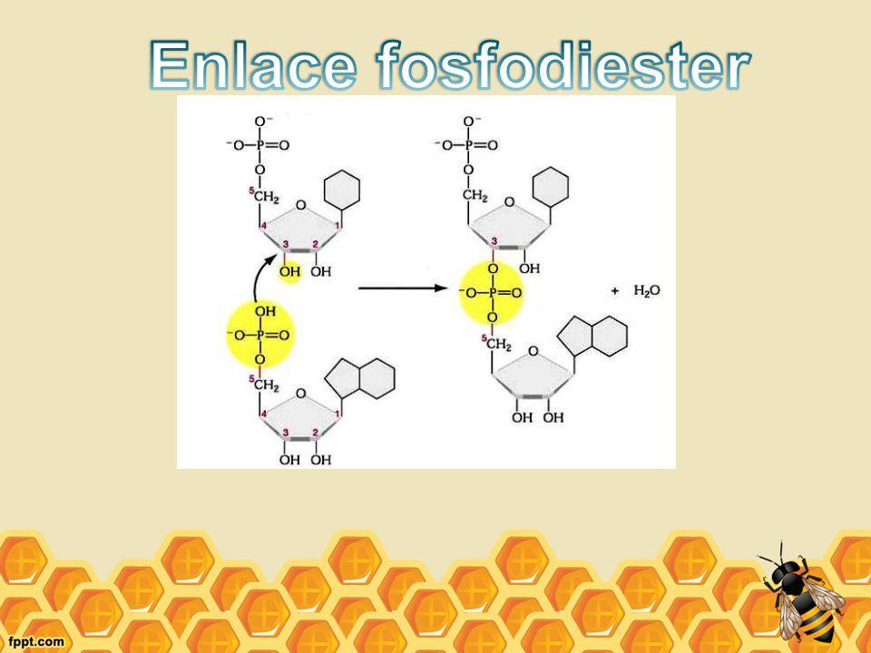 Enlace fosfodiester