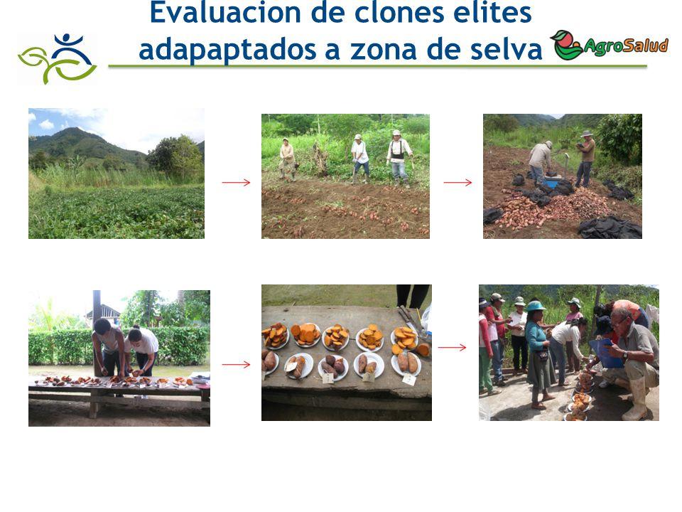 Evaluacion de clones elites adapaptados a zona de selva