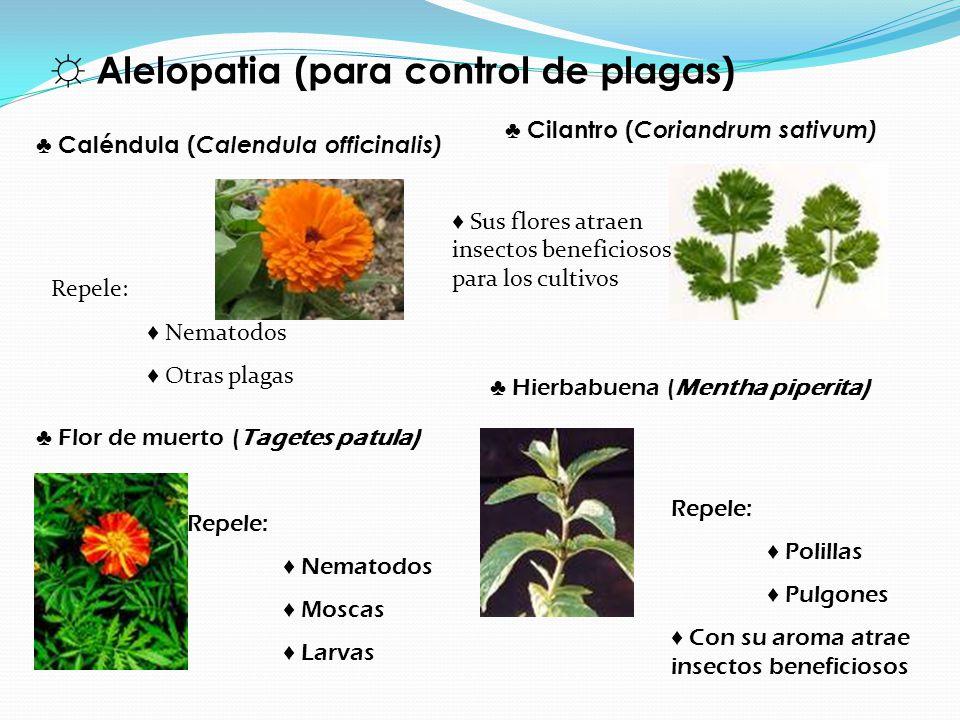 ☼ Alelopatia (para control de plagas)