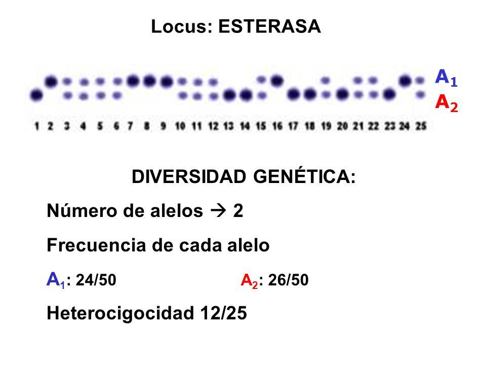 Locus: ESTERASA A1. A2. DIVERSIDAD GENÉTICA: Número de alelos  2. Frecuencia de cada alelo. A1: 24/50 A2: 26/50.