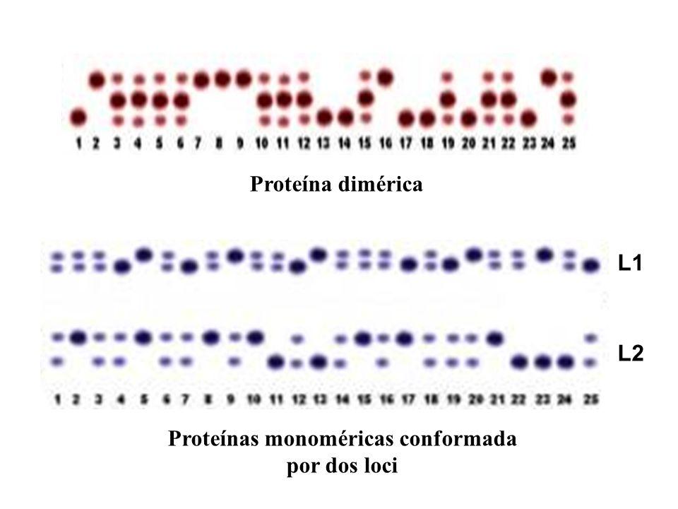 Proteínas monoméricas conformada por dos loci