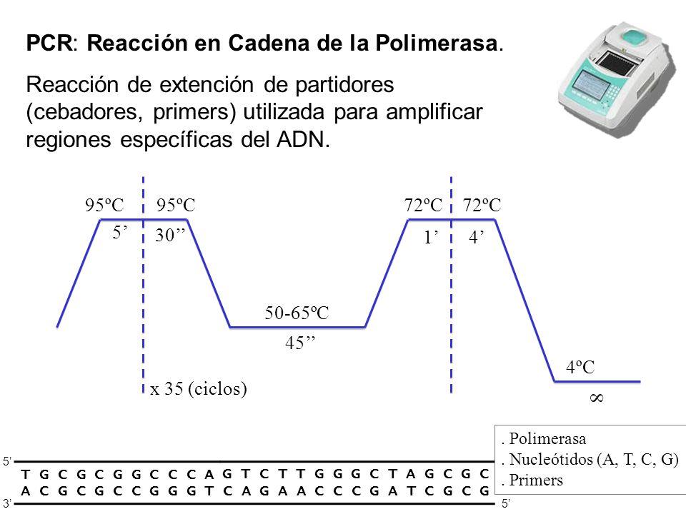 PCR: Reacción en Cadena de la Polimerasa.