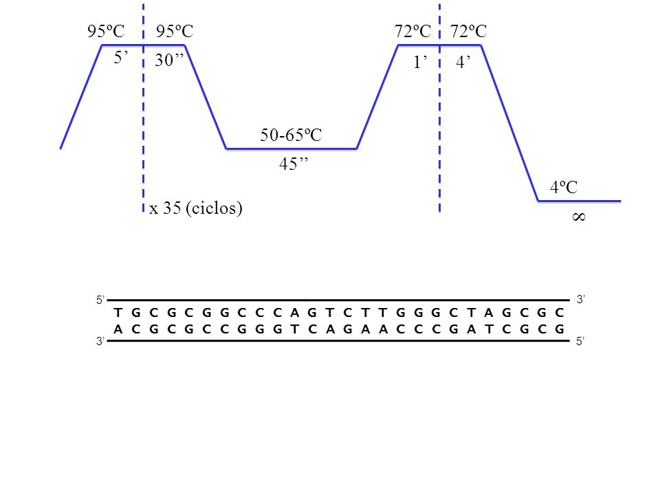 95ºC 72ºC 50-65ºC 4ºC x 35 (ciclos) 5' 30'' 45'' 1' 4' 8