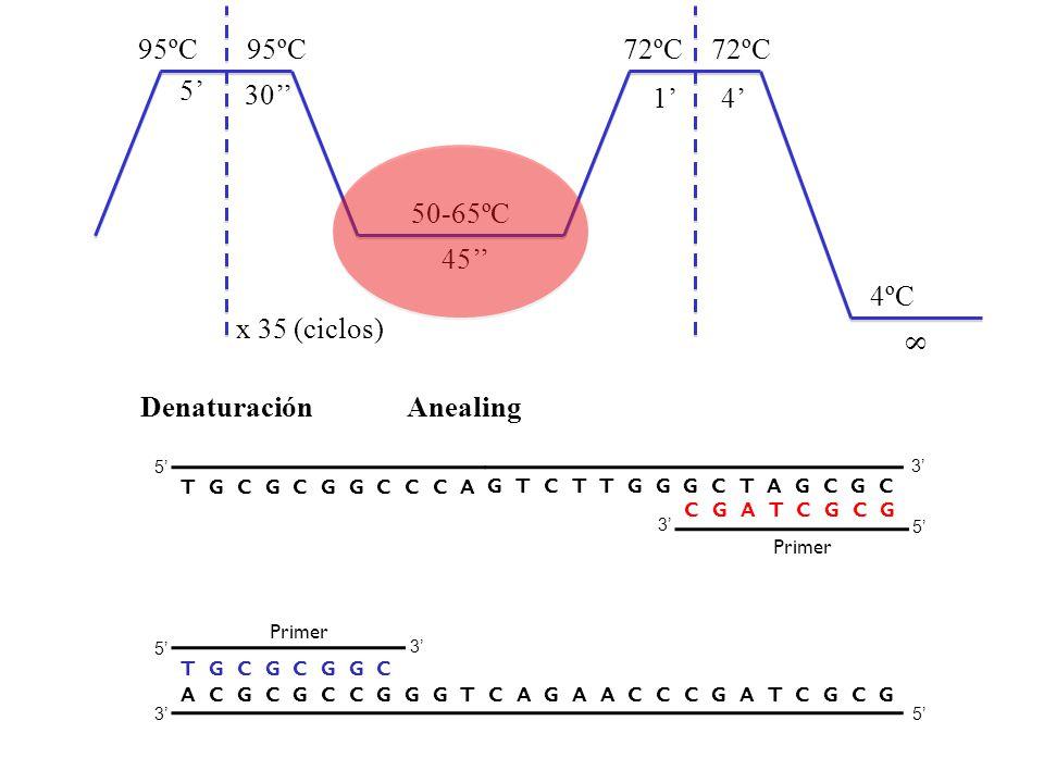 Denaturación Anealing