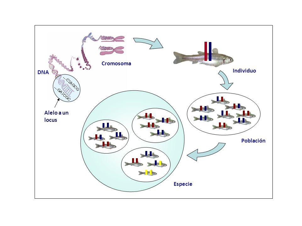 Cromosoma DNA Individuo Población Especie Alelo a un locus 4
